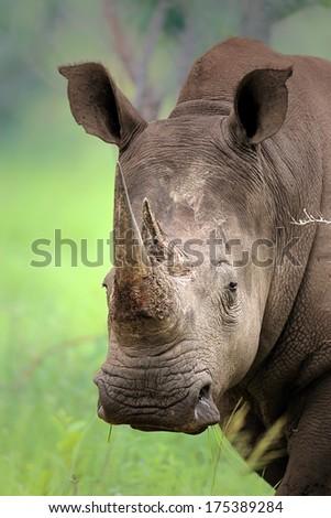 Close-up of White Rhinoceros; Ceratotherium Simum; South Africa - stock photo
