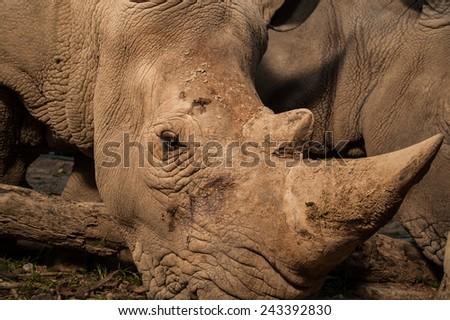 Close up of White Rhinoceros horn - stock photo