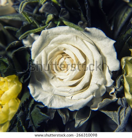 Close up of white rose - stock photo