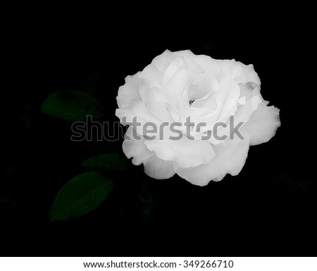 Close up of white rose flower on dark, almost black, background for sympathy card, mourning, condolences or sadness template - stock photo