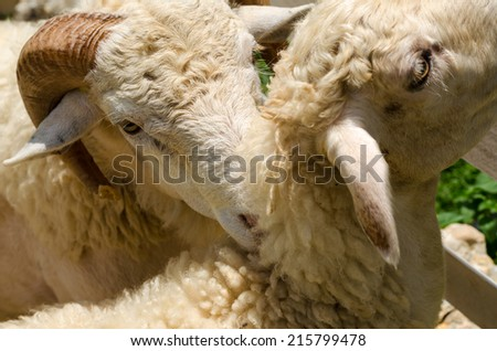 Close up of white sheep face in garden on sunny afternoon - stock photo