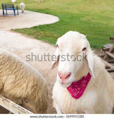 Close up of white sheep tied a pink scarf in farm. - stock photo