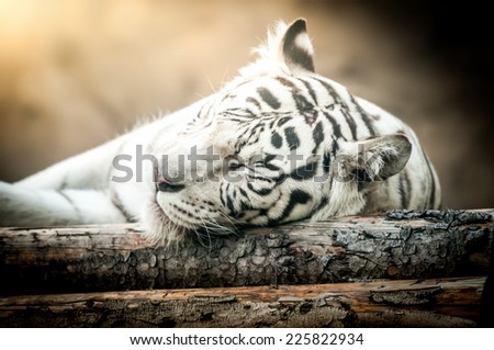 Close Up of White Tiger Lying Down on Side - stock photo