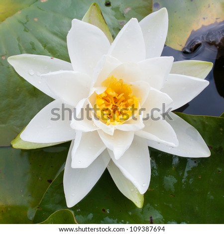Close up of White water lily flower with yellow Stamens (Nymphae pygmaea) surrounded by big green leaves floating on the water - stock photo