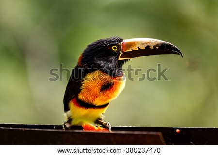 Close up of wild green-billed red-breasted toucan, Ramphastos dicolorus, showing colorful detail of long bill - stock photo