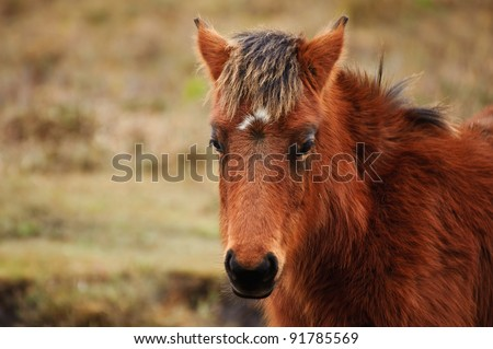 Close up of wild New Forest pony in Winter - stock photo