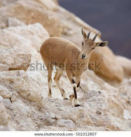 close up of wild young nubian ibex