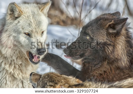 Close up of wolf pack behavior,photo art