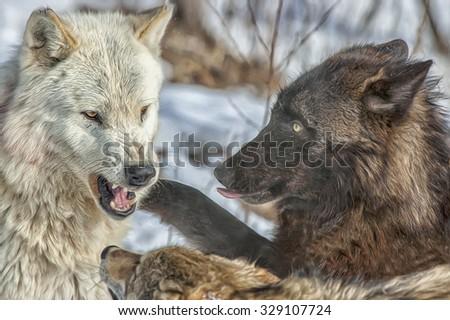 Close up of wolf pack behavior,photo art - stock photo