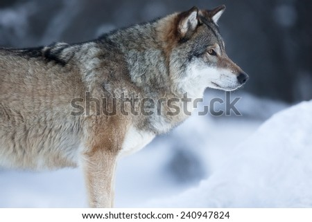 Close up of wolf standing in the snow - stock photo