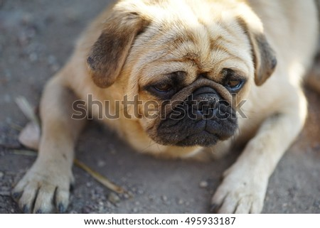 Close up of wrinkly pug being sleepy. Cute animal portrait. Pet dog.