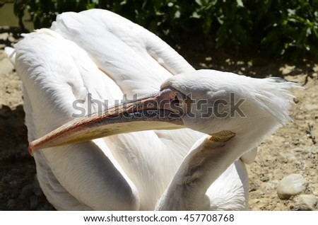 Close up of wwhite pelicans on ground - stock photo
