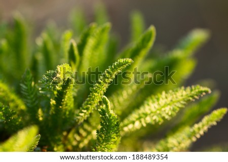 Close-up of yarrow leaves on a meadow - stock photo
