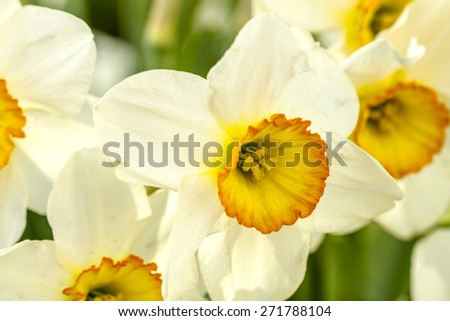 Close up of yellow and white daffodil blooms in field on flower bulb farm - stock photo