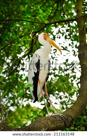 Close up of Yellow-billed Stork, selective focus.  - stock photo