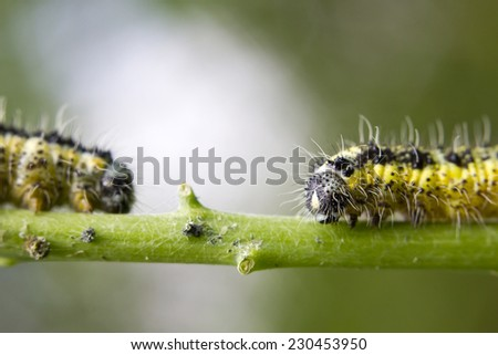 Close-up of yellow caterpillars on a twig - stock photo