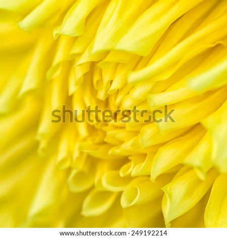 Close-up of yellow chrysanthemum flower. Abstract blossom background. Soft focus, shallow DOF. - stock photo