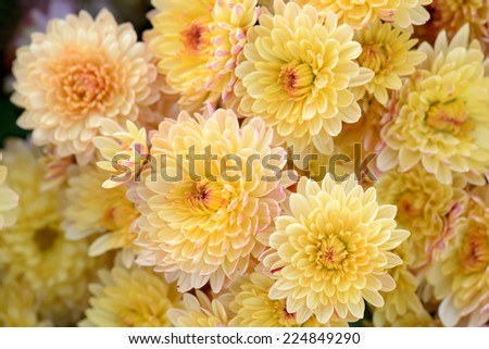 Close-up of yellow chrysanthemum flowers. Abstract blossom background. Soft focus, shallow DOF. - stock photo
