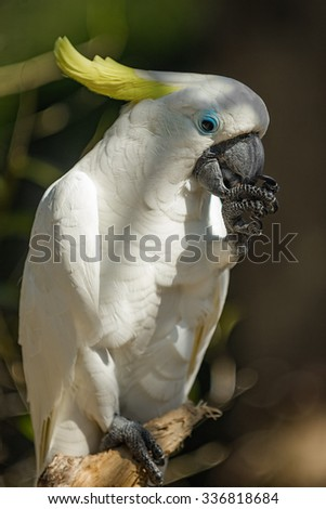 Close up of yellow crested cockatoo with blurred foliage background - stock photo