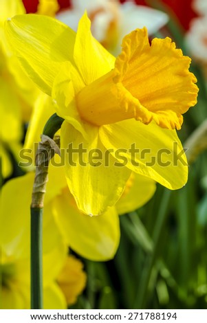 Close up of yellow daffodil blooms in field on flower bulb farm - stock photo