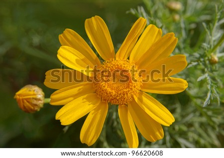 Close up of yellow daisy flower in the garden - stock photo