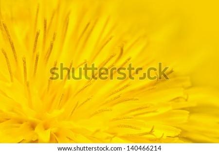 Close up of yellow dandelion flower - stock photo