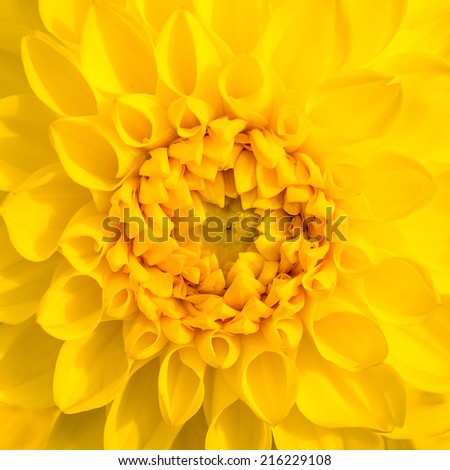 Close up of yellow flower aster  - stock photo