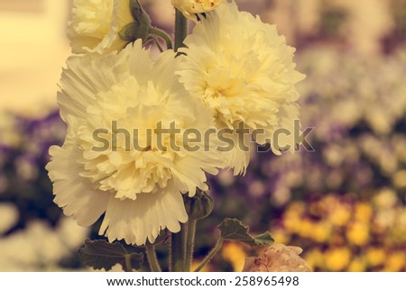 Close up of yellow hollyhock spring celebrity blossom in flower garden - Vintage effect style pictures - stock photo