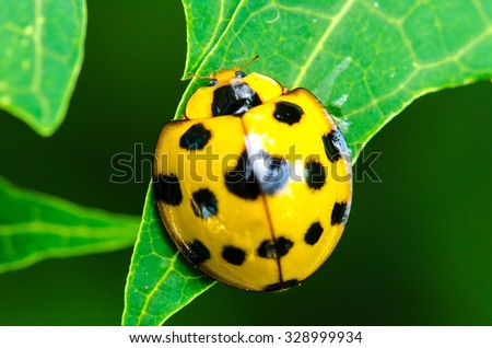 Close up of yellow Ladybird beetle or Ladybug on green leave.Insect - stock photo