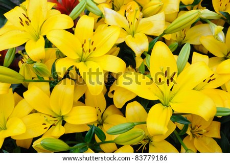 Close up of yellow lilies - stock photo