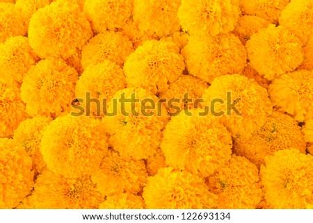Close up of yellow marigolds . - stock photo