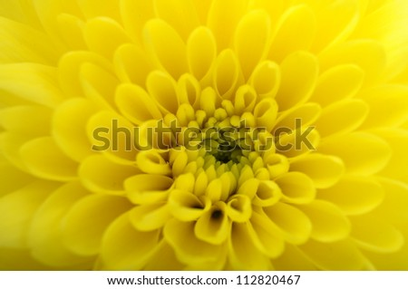 Close up of yellow petals, pistils and heart flower of aster for background or texture
