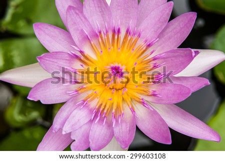 close up of yellow-pink lotus flower. - stock photo