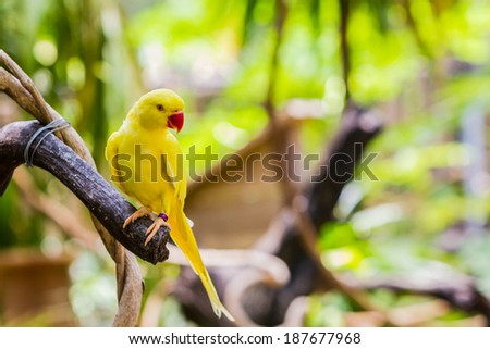 Close-up of Yellow Ringnecked Parakeet (Psittacula krameri) in the Park. - stock photo