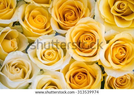 close up of yellow roses background - stock photo