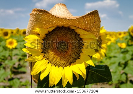 Close up of yellow sunflower bloom wearing a straw cowboy hat - stock photo