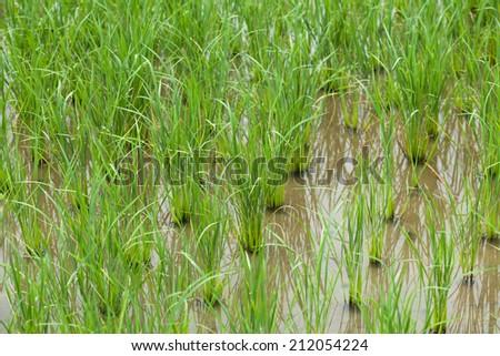 close up of yong rice paddy - stock photo