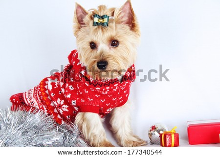 Close-up of Yorkshire Terrier. Meeting Christmas (New Year) - stock photo