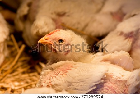 Close up of young chicken in barn below light bulb