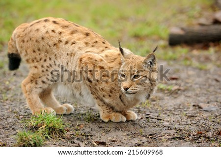 Close-up of young Eurasian Lynx in forest  - stock photo
