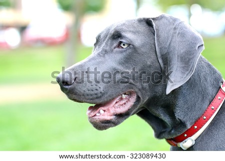 Close up of young female Weimaraner. - stock photo