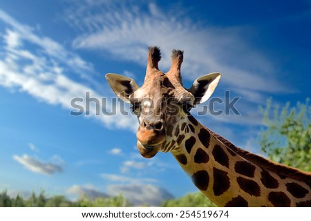 close up of young giraffe - stock photo