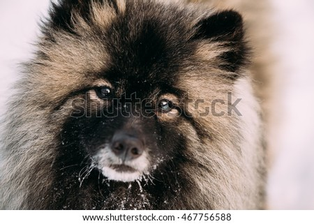 Close Up Of Young Keeshond, Keeshonden Dog In Snow, Winter Season.