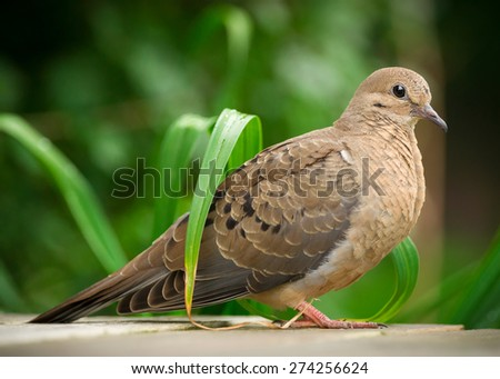 Close up of young mourning dove (Zenaida macroura) in full profile. - stock photo