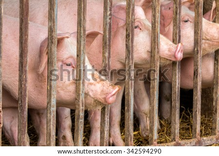 Close up of young pigs behind bars - stock photo