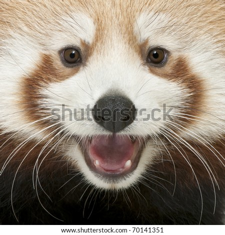 Close-up of Young Red panda or Shining cat, Ailurus fulgens, 7 months old - stock photo