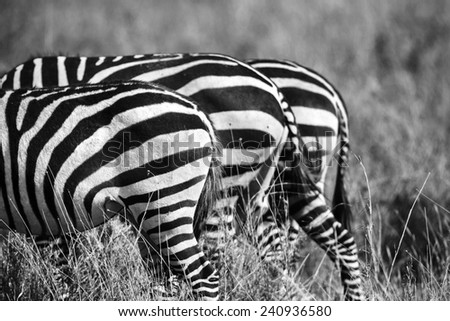 Close up of zebra rear ends in Africa - stock photo