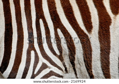 Close-up of zebra stripes and hair - stock photo