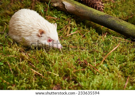 Close up Off White Cute Little Hedgehog Mammal on Green Grassy Lawn with Small Dried Tree Branch. - stock photo