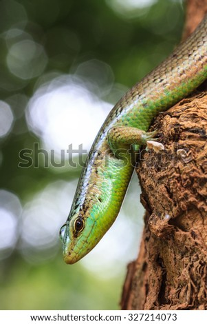 close up Olive Tree Skink in deep forest, Dasia olivacea